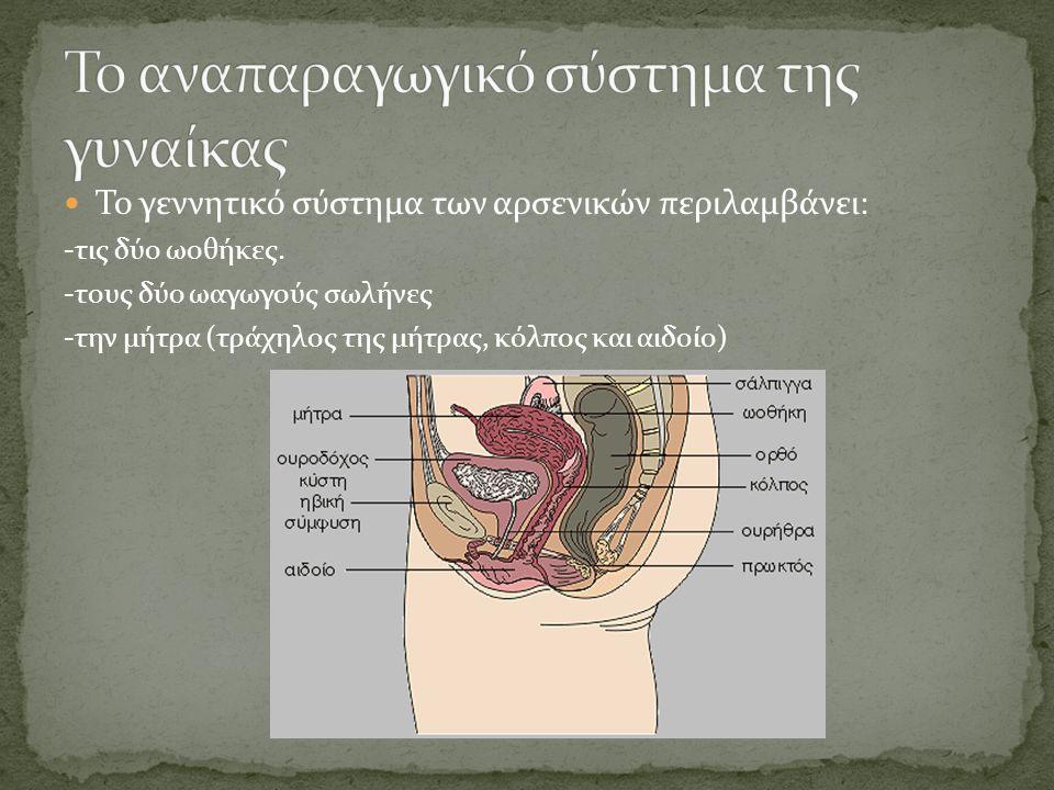  Το γεννητικό σύστημα των αρσενικών περιλαμβάνει: -τις δύο ωοθήκες. -τους δύο ωαγωγούς σωλήνες -την μήτρα (τράχηλος της μήτρας, κόλπος και αιδοίο)