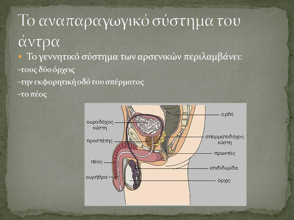  Το γεννητικό σύστημα των αρσενικών περιλαμβάνει: -τους δύο όρχεις -την εκφορητική οδό του σπέρματος -το πέος