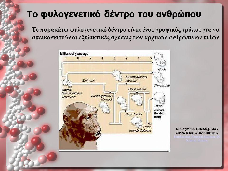 Το φυλογενετικό δέντρο του ανθρώπου Το παρακάτω φυλογενετικό δέντρο είναι ένας γραφικός τρόπος για να απεικονιστούν οι εξελικτικές σχέσεις των αρχικών