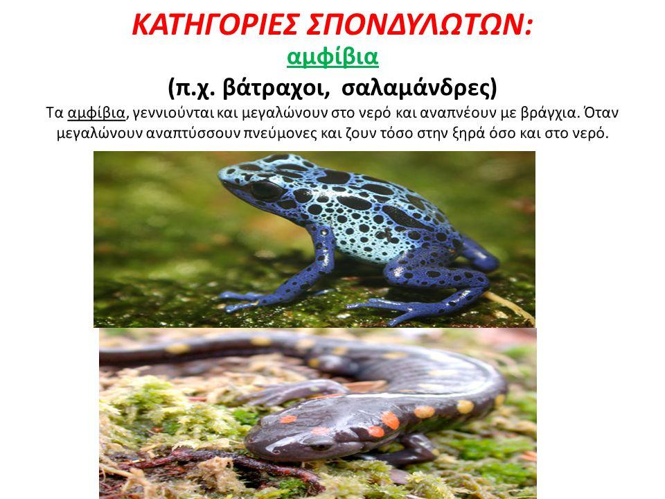 ΚΑΤΗΓΟΡΙΕΣ ΣΠΟΝΔΥΛΩΤΩΝ: αμφίβια (π.χ. βάτραχοι, σαλαμάνδρες)