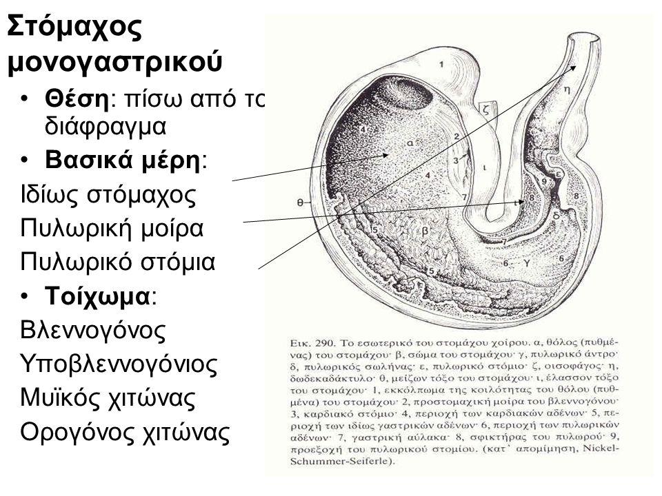 11 Στόμαχος μονογαστρικού •Θέση: πίσω από το διάφραγμα •Βασικά μέρη: Ιδίως στόμαχος Πυλωρική μοίρα Πυλωρικό στόμια •Τοίχωμα: Βλεννογόνος Υποβλεννογόνι