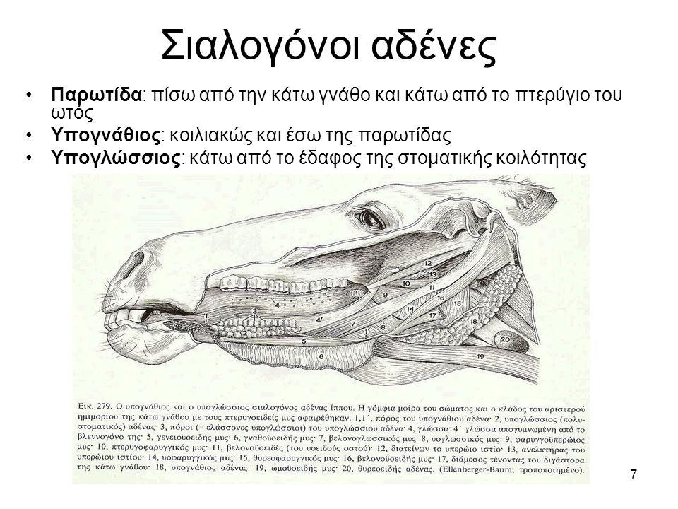 7 Σιαλογόνοι αδένες •Παρωτίδα: πίσω από την κάτω γνάθο και κάτω από το πτερύγιο του ωτός •Υπογνάθιος: κοιλιακώς και έσω της παρωτίδας •Υπογλώσσιος: κά