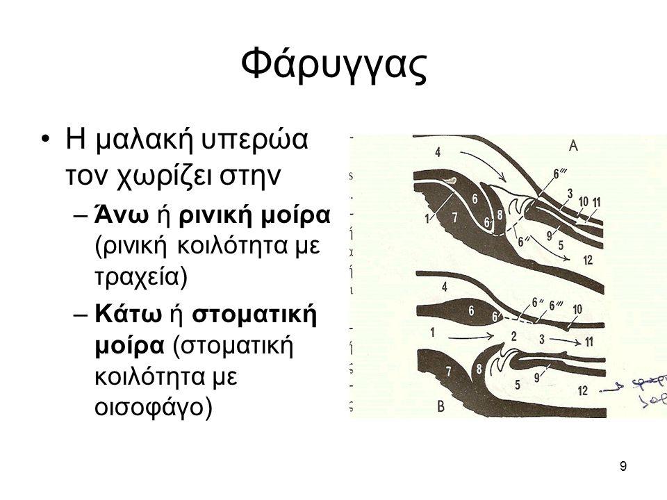9 Φάρυγγας •Η μαλακή υπερώα τον χωρίζει στην –Άνω ή ρινική μοίρα (ρινική κοιλότητα με τραχεία) –Κάτω ή στοματική μοίρα (στοματική κοιλότητα με οισοφάγ