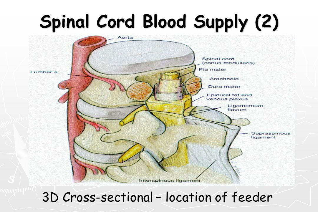 Spinal Cord Blood Supply (2) 3D Cross-sectional – location of feeder