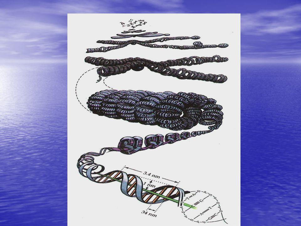 Γονίδιο • Τμήμα του DNA με συγκεκριμένη αλληλουχία βάσεων υπεύθυνο για τη σύνθεση ενός τμήματος RNA ή μιας πολυπεπτιδικής αλυσίδας