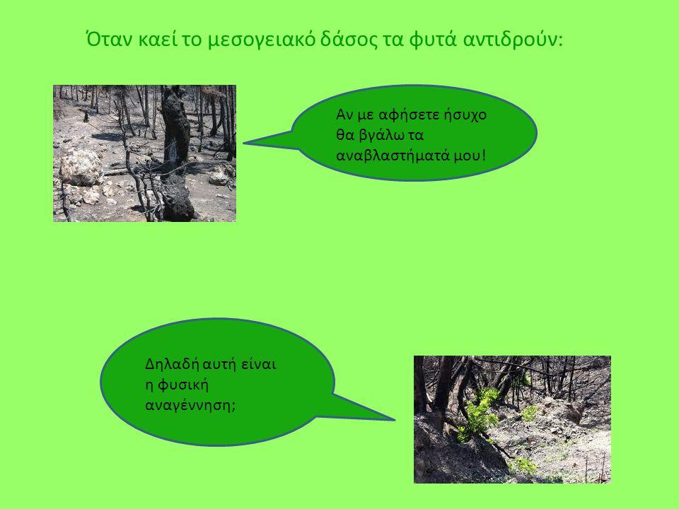Όταν καεί το μεσογειακό δάσος τα φυτά αντιδρούν: Δηλαδή αυτή είναι η φυσική αναγέννηση; Αν με αφήσετε ήσυχο θα βγάλω τα αναβλαστήματά μου!