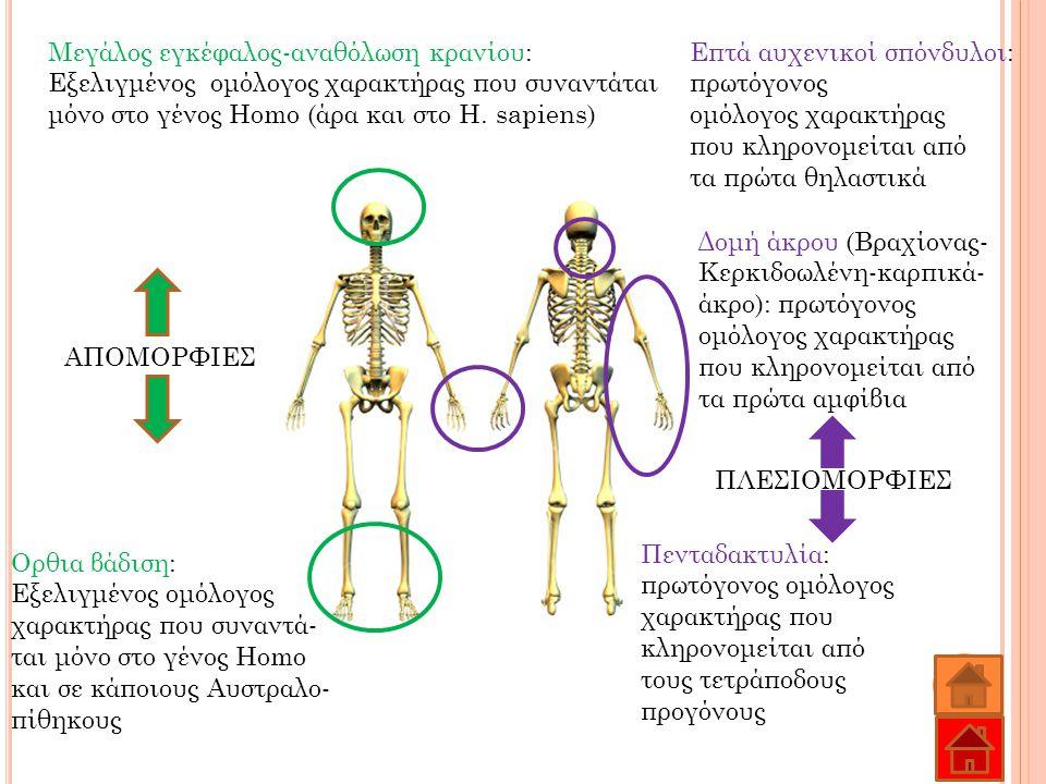 Μεγάλος εγκέφαλος-αναθόλωση κρανίου: Εξελιγμένος ομόλογος χαρακτήρας που συναντάται μόνο στο γένος Homo (άρα και στο H. sapiens) Ορθια βάδιση: Εξελιγμ