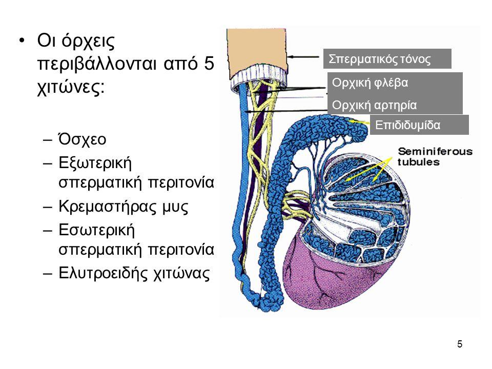 5 •Οι όρχεις περιβάλλονται από 5 χιτώνες: –Όσχεο –Εξωτερική σπερματική περιτονία –Κρεμαστήρας μυς –Εσωτερική σπερματική περιτονία –Ελυτροειδής χιτώνας Σπερματικός τόνος Ορχική φλέβα Ορχική αρτηρία Επιδιδυμίδα