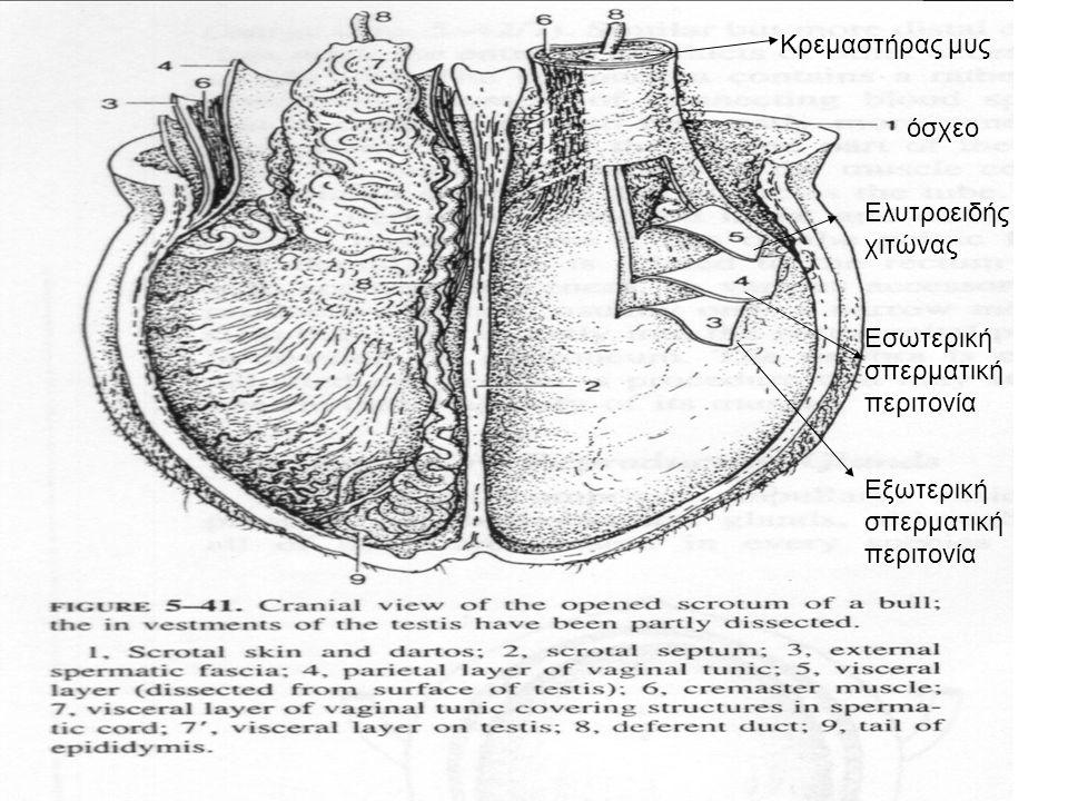 7 •Το τοίχωμα των σπειροειδών σπερματικών σωληναρίων φέρει το γεννητικό επιθήλιο που αποτελείται από κύτταρα του Sertoli (στήριξη και θρέψη σπερματοζωαρίων) •Ανάμεσα στα σπειροειδή σπερματικά σωληνάρια υπάρχουν τα διάμεσα κύτταρα (Leyding) που παράγουν την τεστοστερόνη •