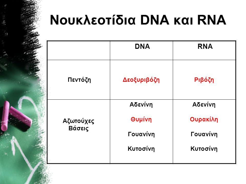 Νουκλεοτίδια DNA και RNA DNA RNA ΠεντόζηΔεοξυριβόζηΡιβόζη Αζωτούχες Βάσεις Αδενίνη Θυμίνη Γουανίνη Κυτοσίνη Αδενίνη Ουρακίλη Γουανίνη Κυτοσίνη