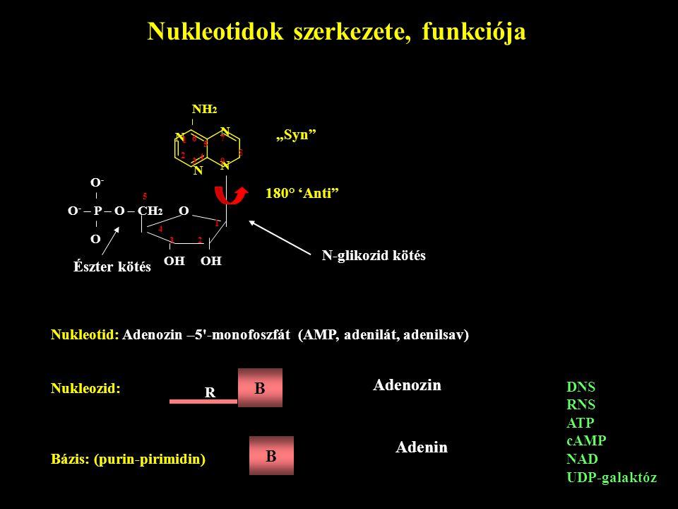 Nukleotidok szerkezete, funkciója N N NH 2 N N 1 2 3 4 5 67 8 9 O - – P – O – CH 2 O O-O- O OH OH 5 4 32 1 Észter kötés Nukleotid: Adenozin –5'-monofo