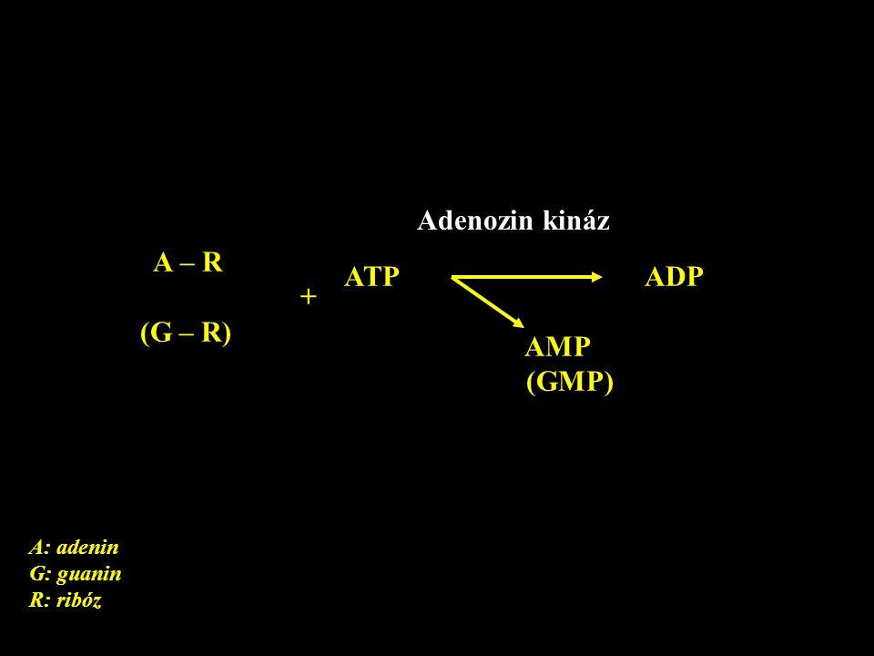 A – R + (G – R) ATP ADP AMP (GMP) Adenozin kináz A: adenin G: guanin R: ribóz