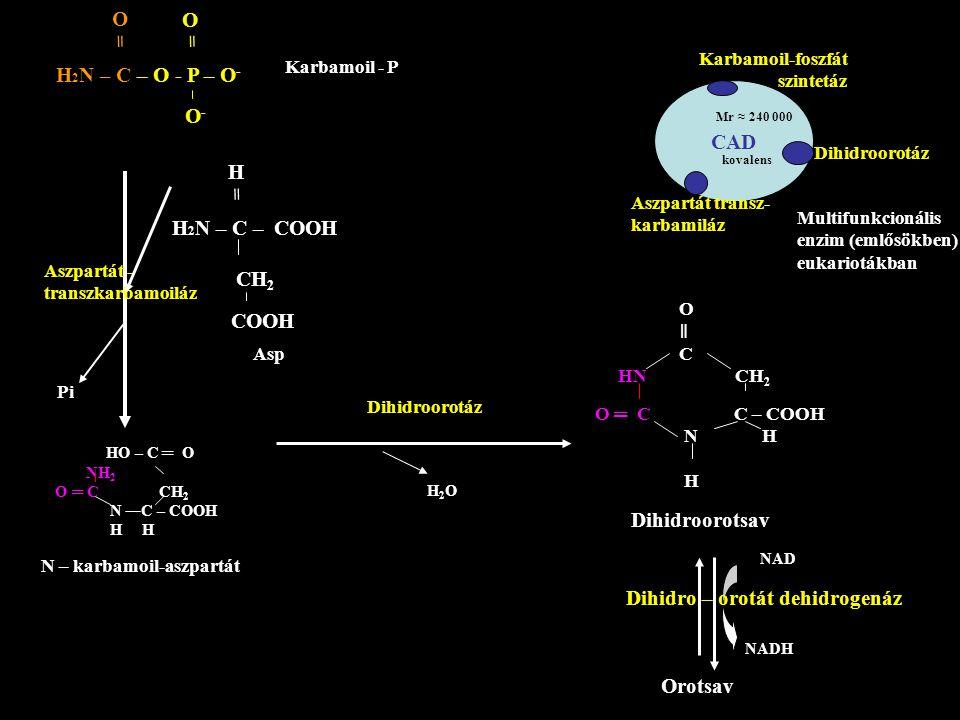 H 2 N – C – O - P – O - O = O = O-O- Karbamoil - P H 2 N – C – COOH CH 2 COOH H = Asp Aszpartát - transzkarbamoiláz Pi HO – C ═ O NH 2 O ═ C CH 2 N C