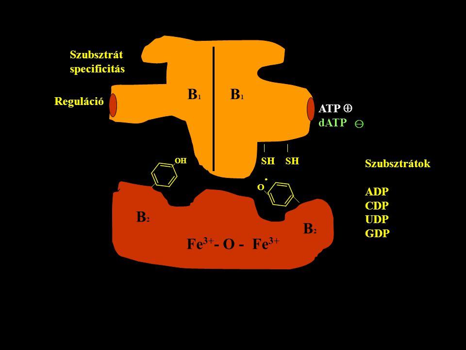 B1B1 B1B1 Szubsztrát specificitás Reguláció ATP  dATP SH B2B2 B2B2 Fe 3+ - O - Fe 3+ Szubsztrátok ADP CDP UDP GDP OH O·O· 