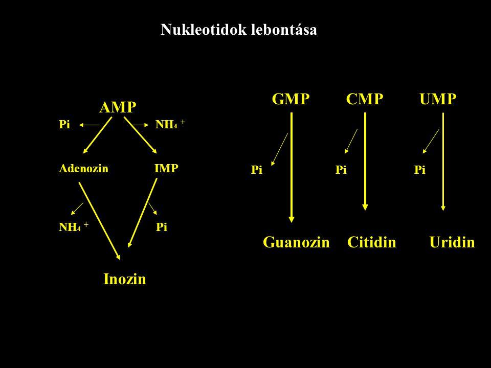 Nukleotidok lebontása AMP Pi NH 4 + Adenozin IMP NH 4 + Pi GMP CMP UMP Pi Pi Pi Inozin Guanozin Citidin Uridin