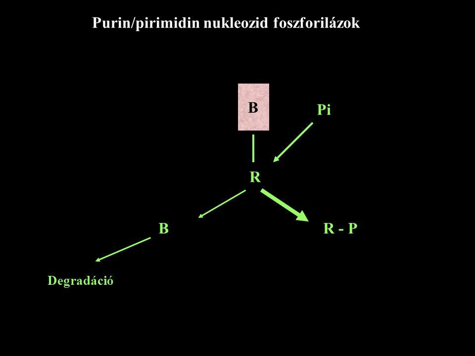Purin/pirimidin nukleozid foszforilázok B R Pi B R - P Degradáció