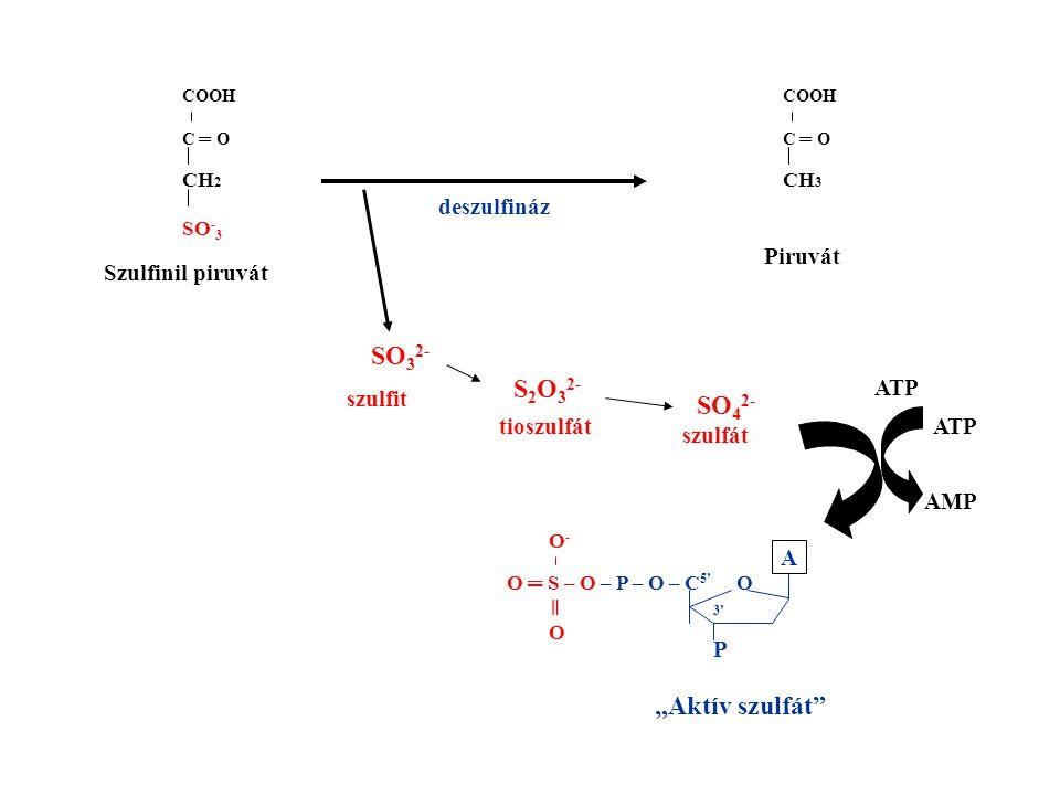 COOH C ═ O CH 2 SO - 3 COOH C ═ O CH 3 Szulfinil piruvát Piruvát SO 3 2- S 2 O 3 2- SO 4 2- szulfit tioszulfát szulfát ATP AMP O ═ S – O – P – O – C 5