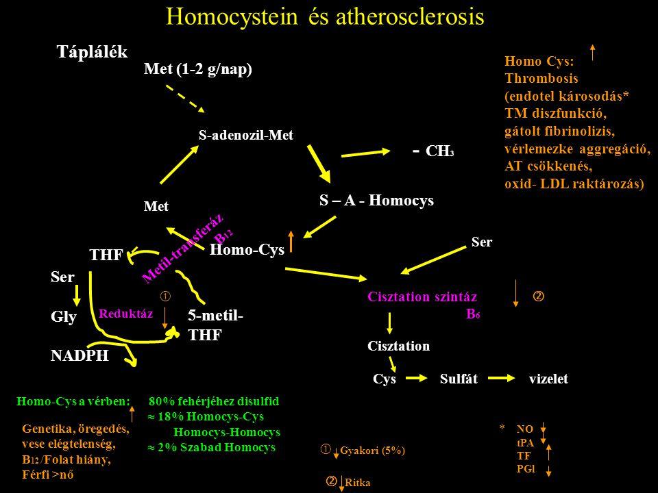 Homocystein és atherosclerosis Táplálék Met (1-2 g/nap) S-adenozil-Met Met Homo-Cys S – A - Homocys - CH 3 THF Ser Gly NADPH 5-metil- THF Metil-transf