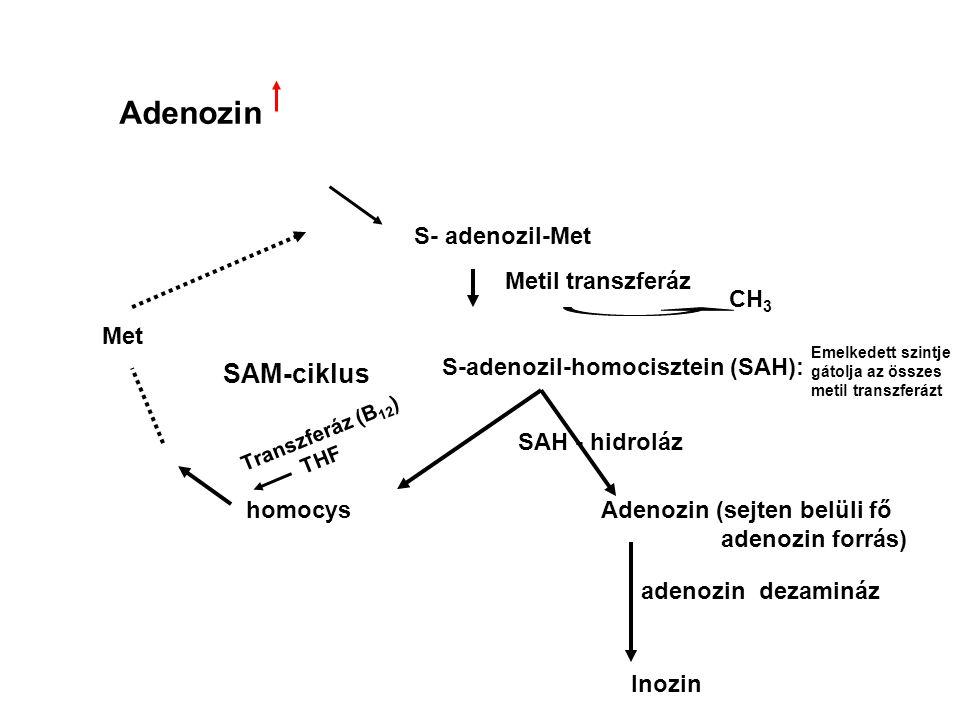 Adenozin S- adenozil-Met Metil transzferáz CH 3 Met SAM-ciklus S-adenozil-homocisztein (SAH): homocys Transzferáz (B 12 ) THF Adenozin (sejten belüli