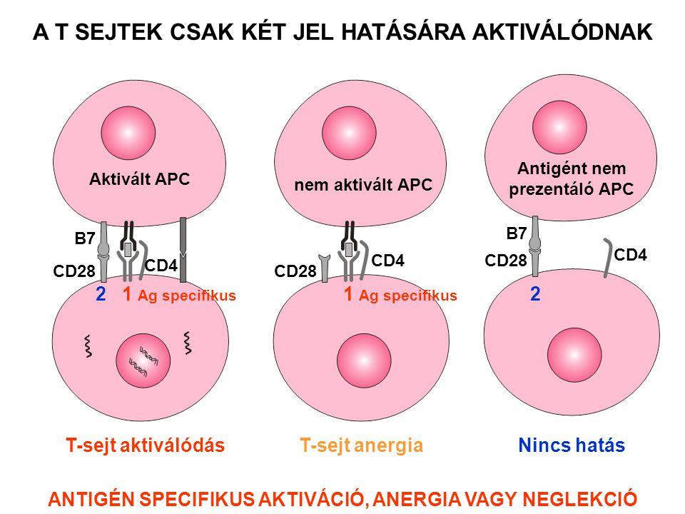 CD4 CD28 B7 Antigént nem prezentáló APC CD4 CD28 nem aktivált APC T-sejt aktiválódás A T SEJTEK CSAK KÉT JEL HATÁSÁRA AKTIVÁLÓDNAK Aktivált APC CD28 CD4 B7 2 1 Ag specifikus T-sejt anergia 1 Ag specifikus Nincs hatás 2 ANTIGÉN SPECIFIKUS AKTIVÁCIÓ, ANERGIA VAGY NEGLEKCIÓ