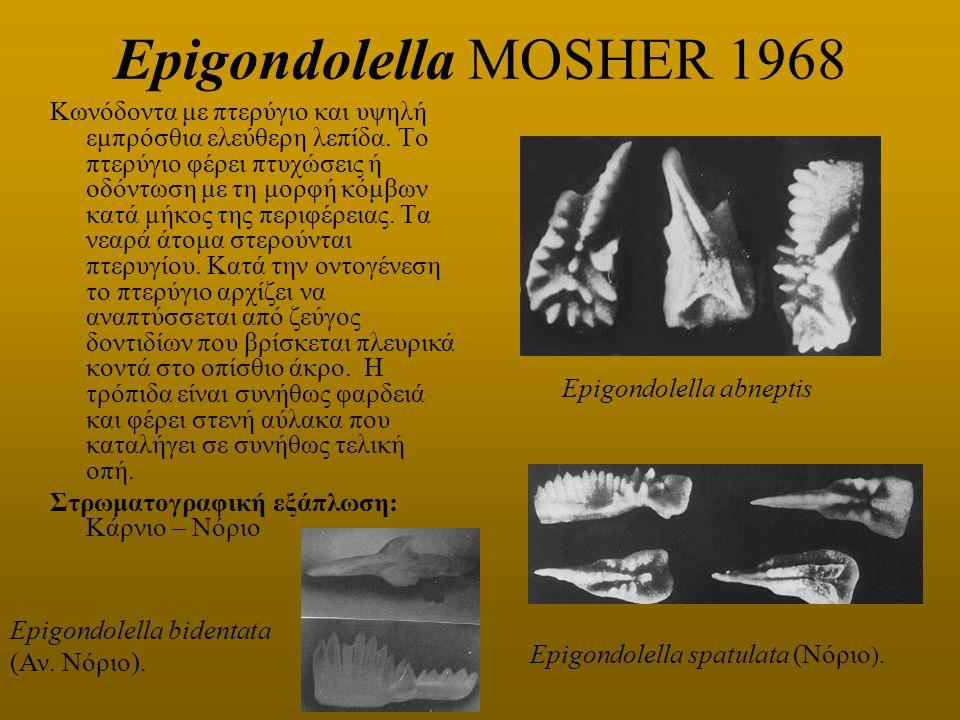 Epigondolella MOSHER 1968 Κωνόδοντα με πτερύγιο και υψηλή εμπρόσθια ελεύθερη λεπίδα. Το πτερύγιο φέρει πτυχώσεις ή οδόντωση με τη μορφή κόμβων κατά μή
