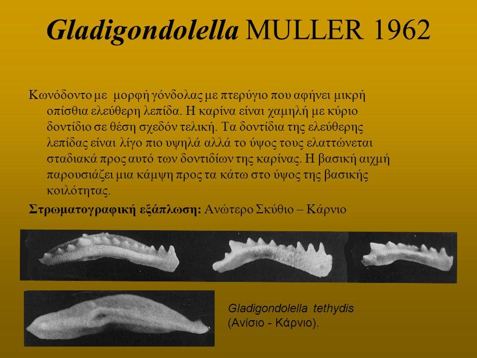 Gladigondolella MULLER 1962 Κωνόδοντο με μορφή γόνδολας με πτερύγιο που αφήνει μικρή οπίσθια ελεύθερη λεπίδα. Η καρίνα είναι χαμηλή με κύριο δοντίδιο