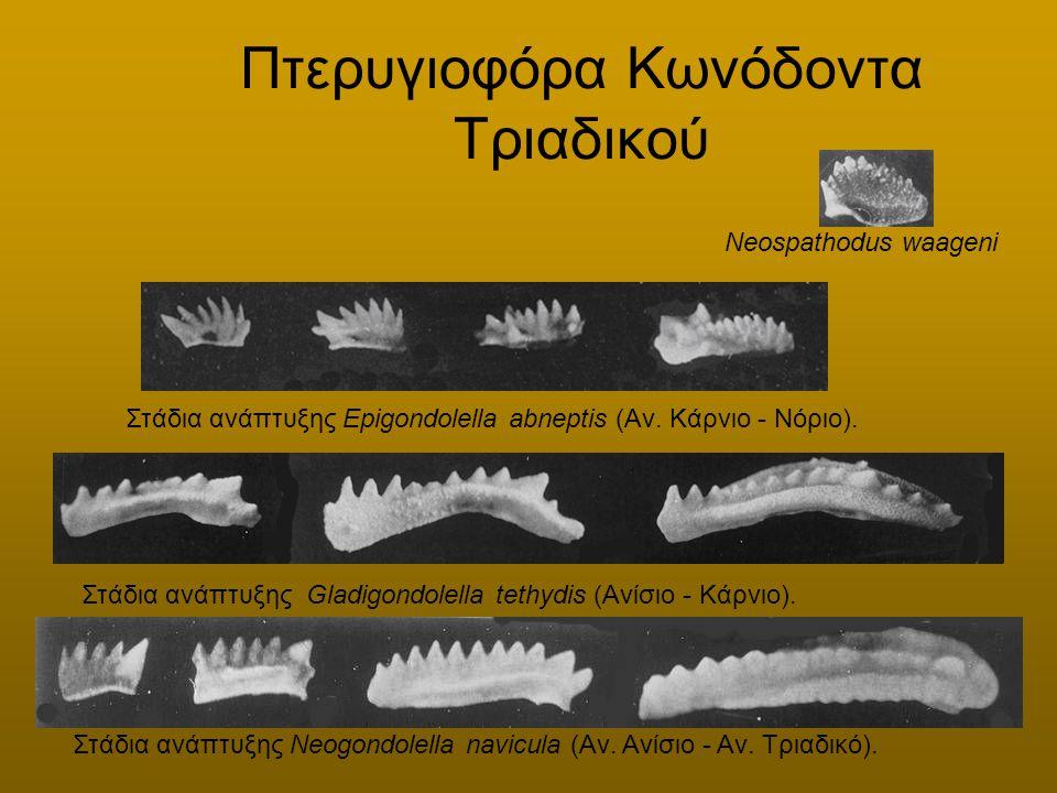 Πτερυγιοφόρα Κωνόδοντα Τριαδικού Στάδια ανάπτυξης Gladigondolella tethydis (Ανίσιο - Κάρνιο). Στάδια ανάπτυξης Epigondolella abneptis (Αν. Κάρνιο - Νό