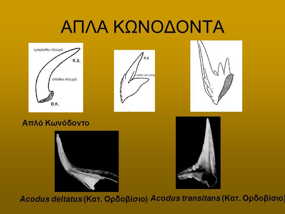 ΑΠΛΑ ΚΩΝΟΔΟΝΤΑ Απλό Κωνόδοντο Acodus deltatus (Κατ. Ορδοβίσιο) Acodus transitans (Κατ. Ορδοβίσιο).