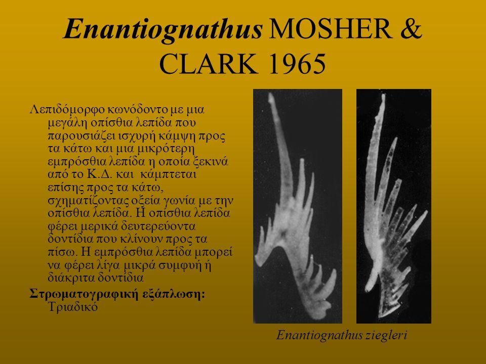 Enantiognathus MOSHER & CLARK 1965 Λεπιδόμορφο κωνόδοντο με μια μεγάλη οπίσθια λεπίδα που παρουσιάζει ισχυρή κάμψη προς τα κάτω και μια μικρότερη εμπρ