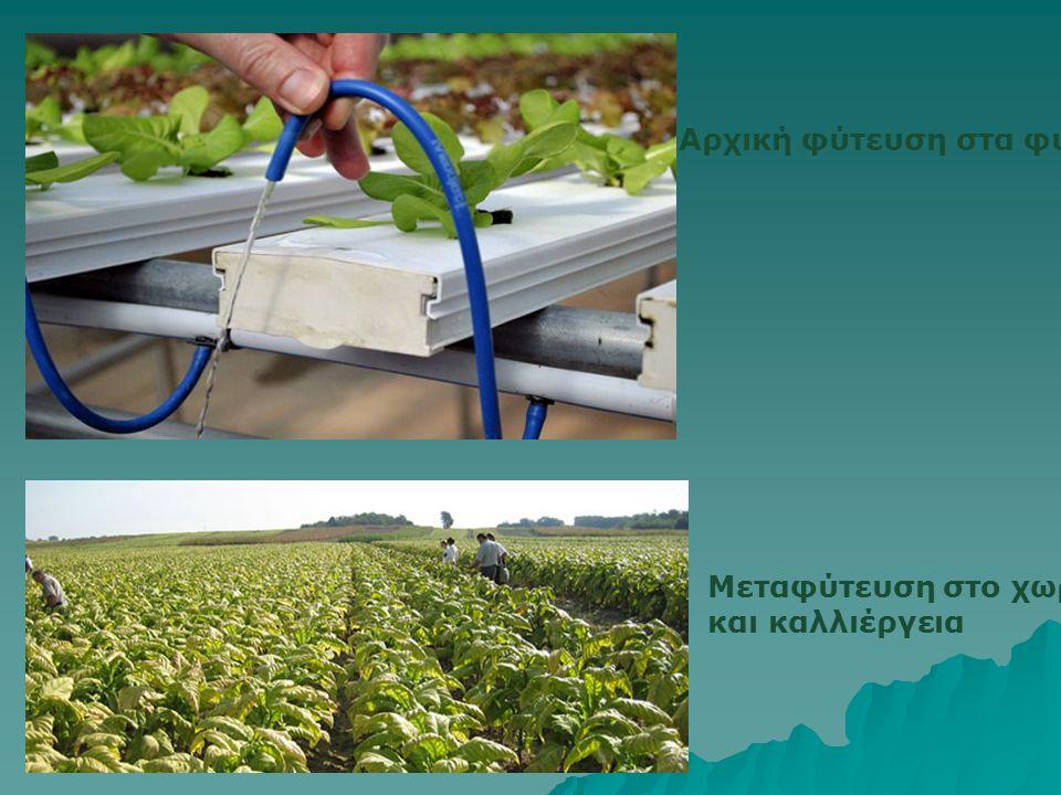 Αρχική φύτευση στα φυτάρια Μεταφύτευση στο χωράφι και καλλιέργεια