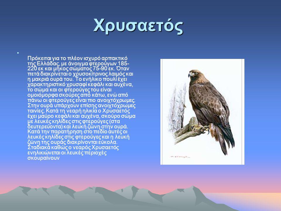 Γυπαετός Περιοχή Κρήτη Είναι ένα είδος γύπα με μία μεγάλη ρομβοειδή ουρά, δυναμικό πέταγμα, σχετικά γρήγορο, γεμάτο από ελιγμούς που πιο πολύ θυμίζουν ένα μεγάλο γεράκι, παρά ένα πουλί με άνοιγγμα φτερών που φτάνει τα 2,80 μέτρα και βάρος 5-7 κιλά.