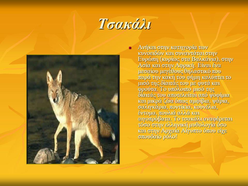 Τσακάλι Ανήκει στην κατηγορία των κυνοειδών και συναντάται στην Ευρώπη (κυρίως στα Βαλκάνια), στην Ασία και στην Αφρική.