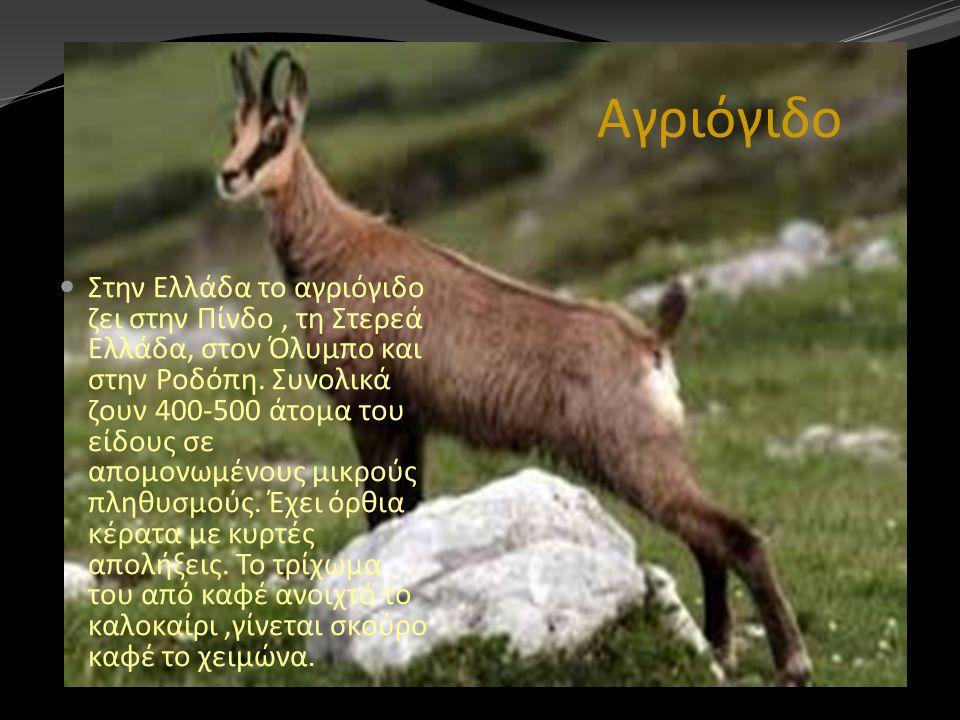 Αγριόγιδο Στην Ελλάδα το αγριόγιδο ζει στην Πίνδο, τη Στερεά Ελλάδα, στον Όλυμπο και στην Ροδόπη. Συνολικά ζουν 400-500 άτομα του είδους σε απομονωμέν