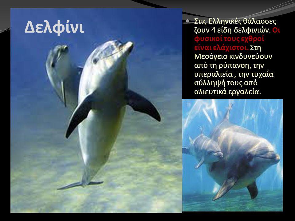 Δελφίνι Στις Ελληνικές θάλασσες ζουν 4 είδη δελφινιών. Οι φυσικοί τους εχθροί είναι ελάχιστοι. Στη Μεσόγειο κινδυνεύουν από τη ρύπανση, την υπεραλιεία