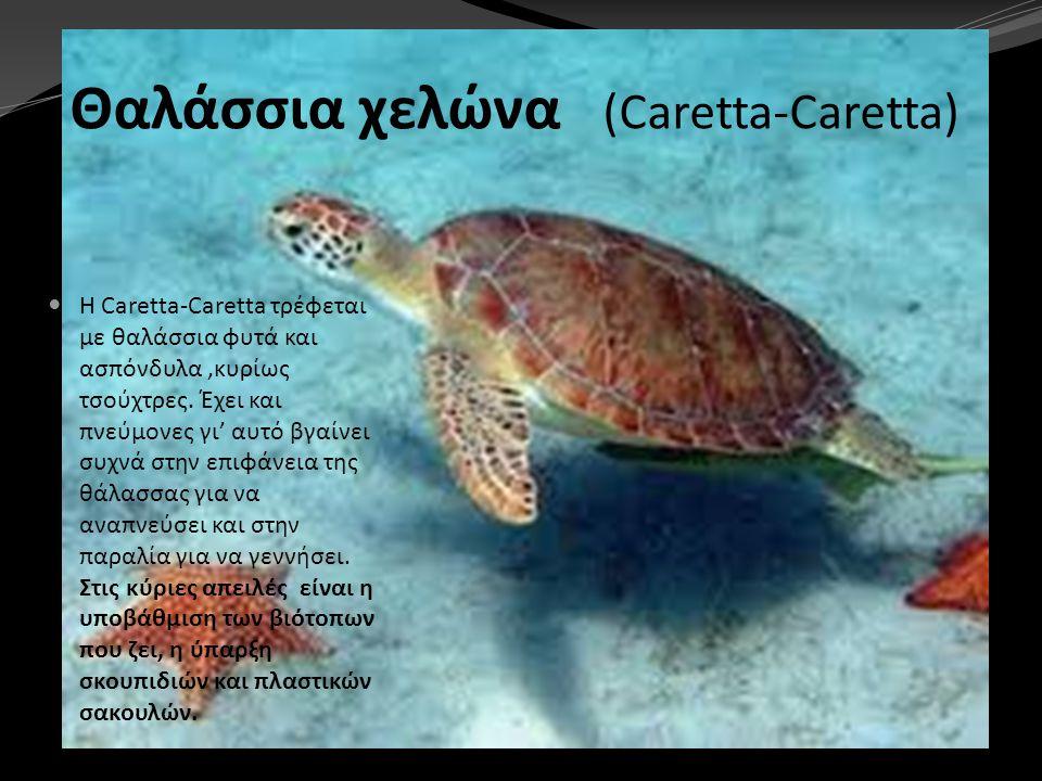 Θαλάσσια χελώνα (Caretta-Caretta) Η Caretta-Caretta τρέφεται με θαλάσσια φυτά και ασπόνδυλα,κυρίως τσούχτρες. Έχει και πνεύμονες γι' αυτό βγαίνει συχν