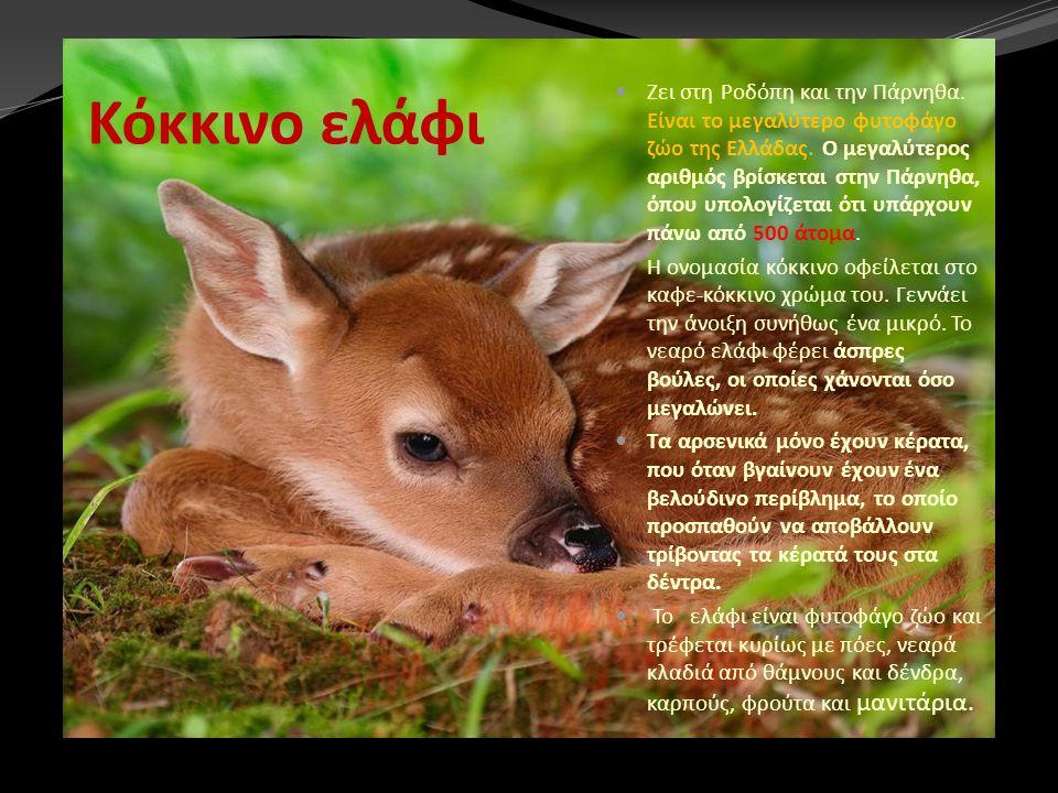 Κόκκινο ελάφι Ζει στη Ροδόπη και την Πάρνηθα. Είναι το μεγαλύτερο φυτοφάγο ζώο της Ελλάδας. Ο μεγαλύτερος αριθμός βρίσκεται στην Πάρνηθα, όπου υπολογί