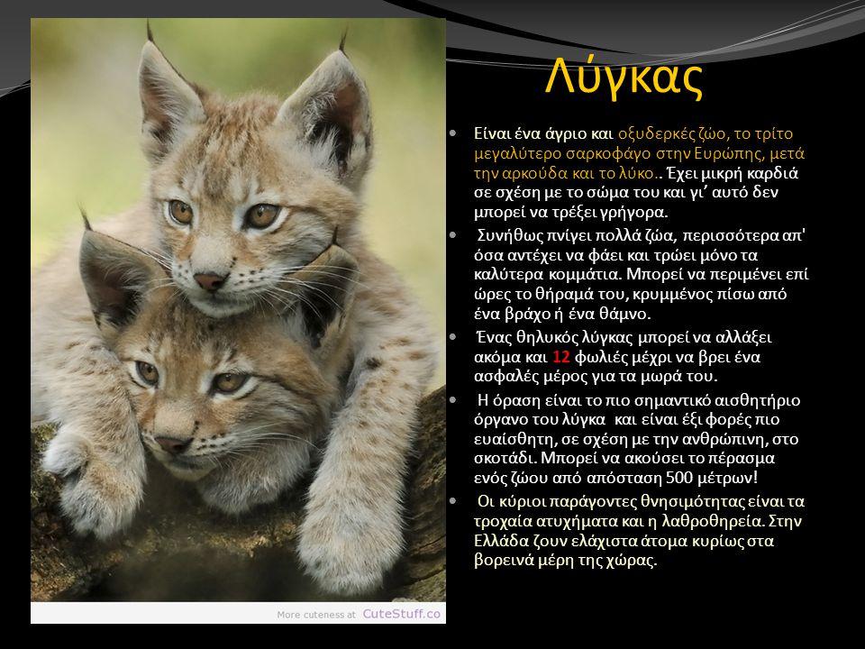 Λύγκας Είναι ένα άγριο και οξυδερκές ζώο, το τρίτο μεγαλύτερο σαρκοφάγο στην Ευρώπης, μετά την αρκούδα και το λύκο.. Έχει μικρή καρδιά σε σχέση με το