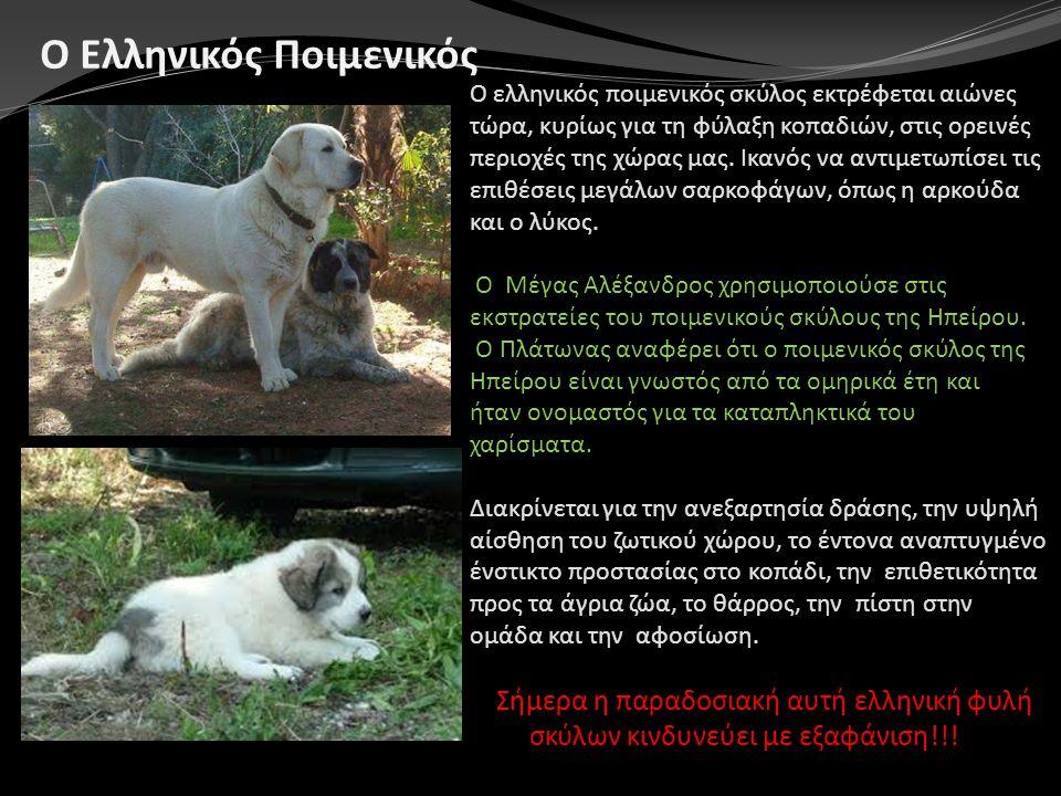 Ο ελληνικός ποιμενικός σκύλος εκτρέφεται αιώνες τώρα, κυρίως για τη φύλαξη κοπαδιών, στις ορεινές περιοχές της χώρας μας. Ικανός να αντιμετωπίσει τις