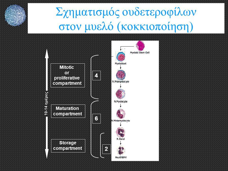 Σχηματισμός ουδετεροφίλων στον μυελό (κοκκιοποίηση) Mitoticorproliferativecompartment Storagecompartment 10-14 ημέρες Maturationcompartment 2 6 4