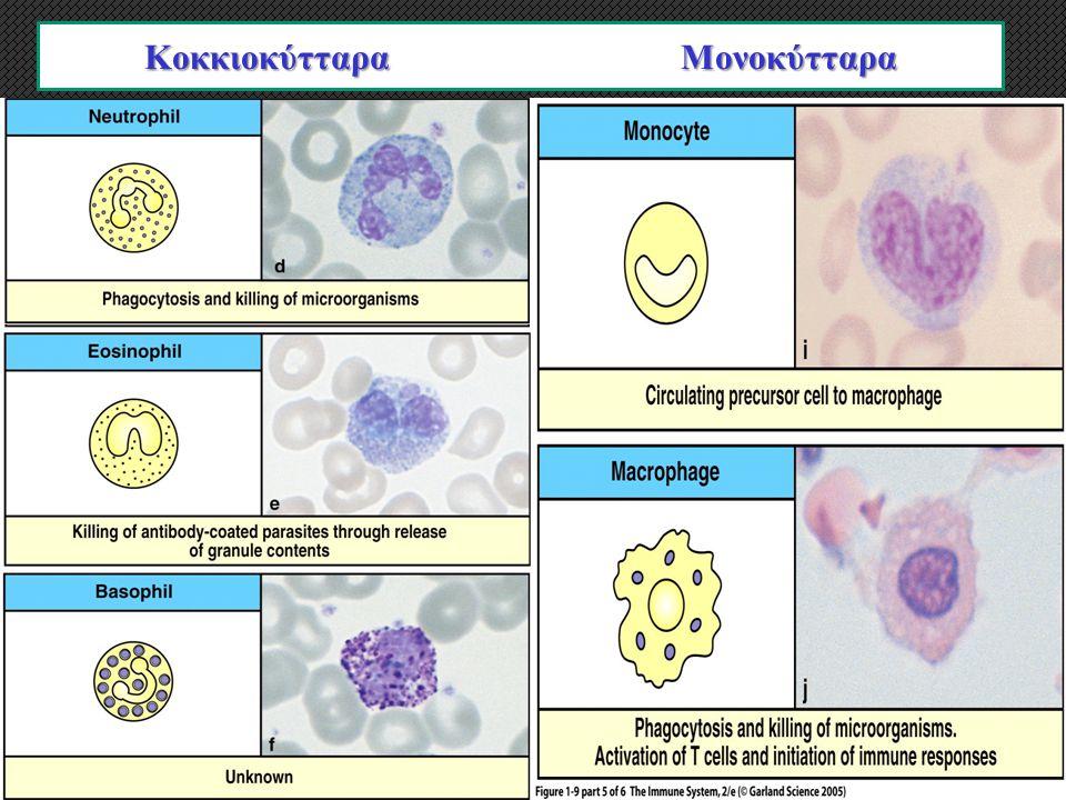 Κοκκιοκύτταρα Πολυμορφοπύρηνα Μονοκύτταρα Κοκκιοκύτταρα Μονοκύτταρα
