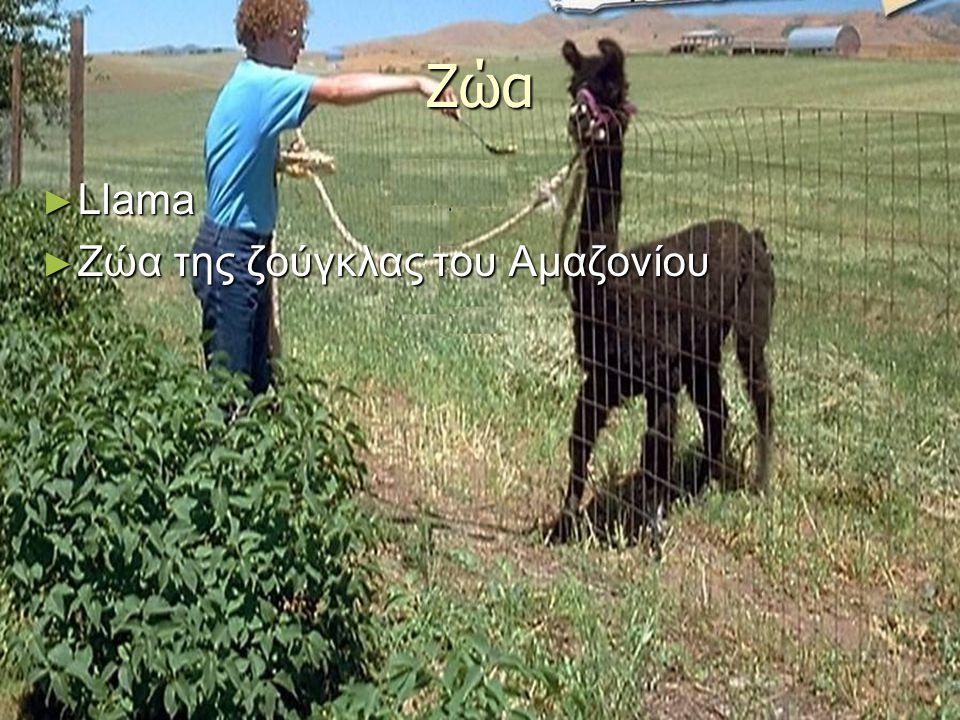 Ζώα ► Llama ► Ζώα της ζούγκλας του Αμαζονίου