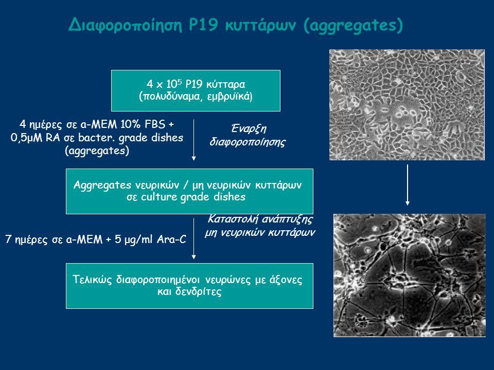 Διαφοροποίηση Ρ19 κυττάρων (aggregates) Καταστολή ανάπτυξης μη νευρικών κυττάρων 4 ημέρες σε a-MEM 10% FBS + 0,5μΜ RA σε bacter. grade dishes (aggrega