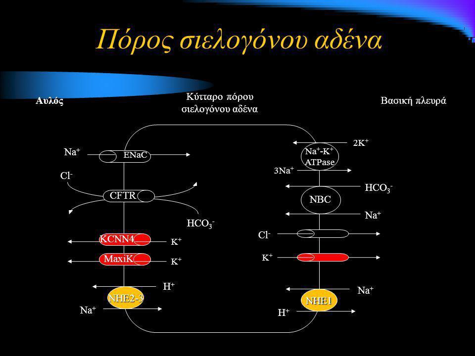 Πόρος σιελογόνου αδένα Βασική πλευρά Κύτταρο πόρου σιελογόνου αδένα Αυλός NHE1 Η+Η+Η+Η+ Na + 3Na + 2K + Na + -K + ATPase NBC Na + HCO 3 - Cl - K+K+K+K