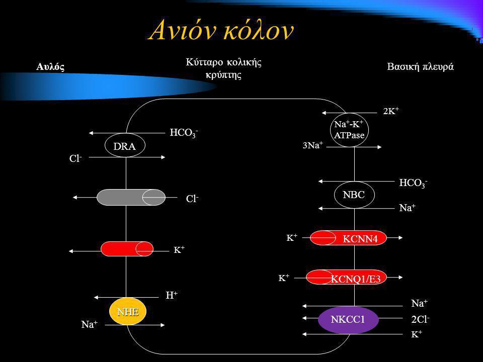 Ανιόν κόλον Βασική πλευρά Κύτταρο κολικής κρύπτης Αυλός 3Na + 2K + Na + -K + ATPase NBC Na + HCO 3 - NHE Η+Η+Η+Η+ Na + K+K+K+K+ K+K+K+K+ KCNN4 DRA Cl