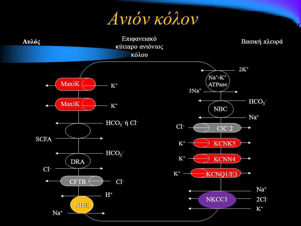 Ανιόν κόλον Βασική πλευρά Επιφανειακό κύτταρο ανιόντος κόλου Αυλός 3Na + 2K + Na + -K + ATPase NBC Na + HCO 3 - NHE Η+Η+Η+Η+ Na + K+K+K+K+ K+K+K+K+ KC