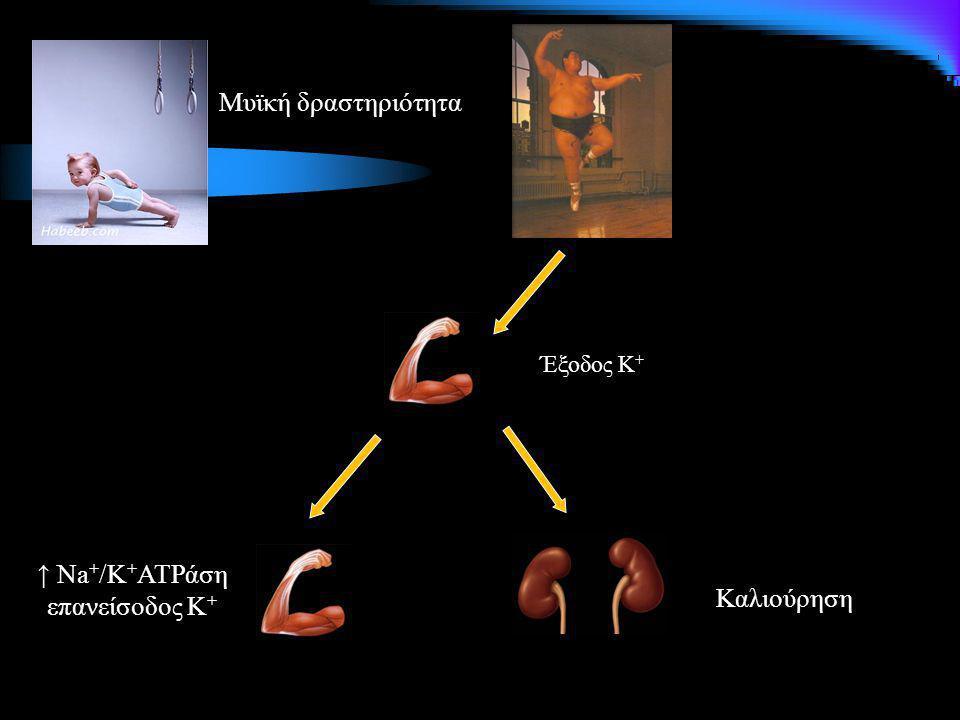 Μυϊκή δραστηριότητα Έξοδος Κ + ↑ Na + /K + ATPάση επανείσοδος Κ + Καλιούρηση