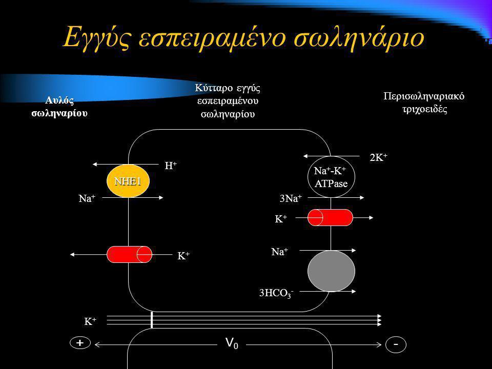 Εγγύς εσπειραμένο σωληνάριο Na + 3HCO 3 - NHE1 Η+Η+Η+Η+ Na + 3Na + 2K + Na + -K + ATPase Περισωληναριακό τριχοειδές Κύτταρο εγγύς εσπειραμένου σωληναρ