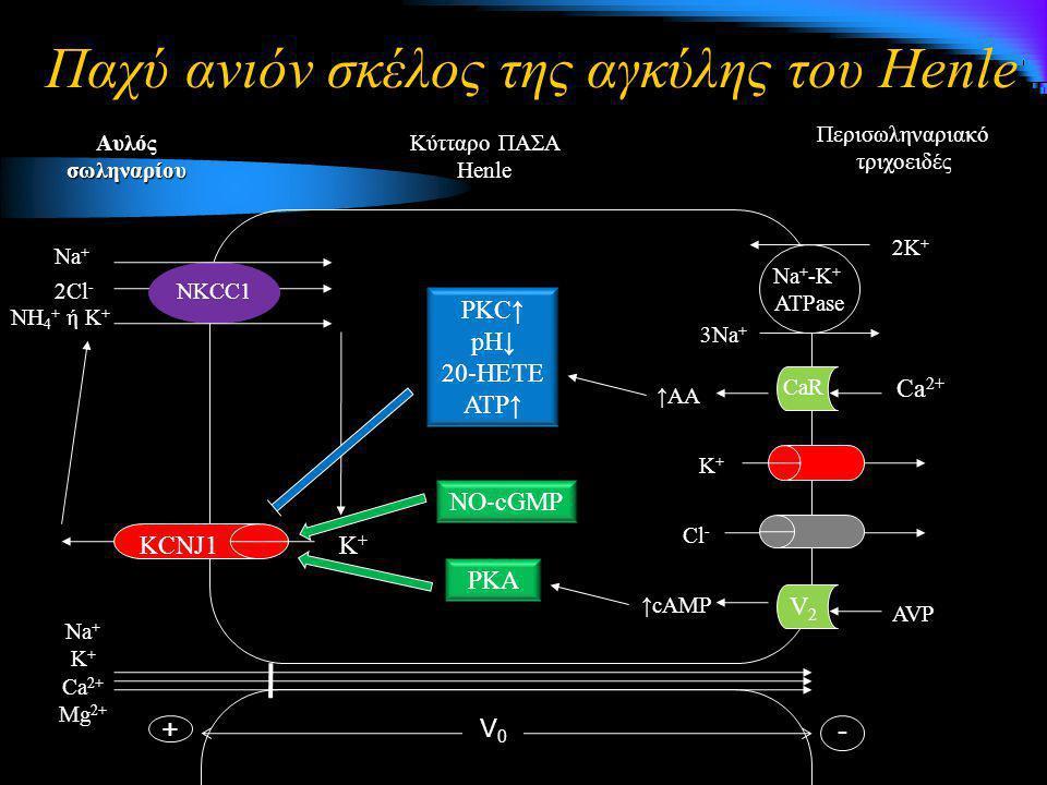 Παχύ ανιόν σκέλος της αγκύλης του Henle 3Na + 2K + Na + -K + ATPase Περισωληναριακό τριχοειδές Κύτταρο ΠΑΣΑ Henle Αυλός σωληναρίου K+K+K+K+ Na + K + C