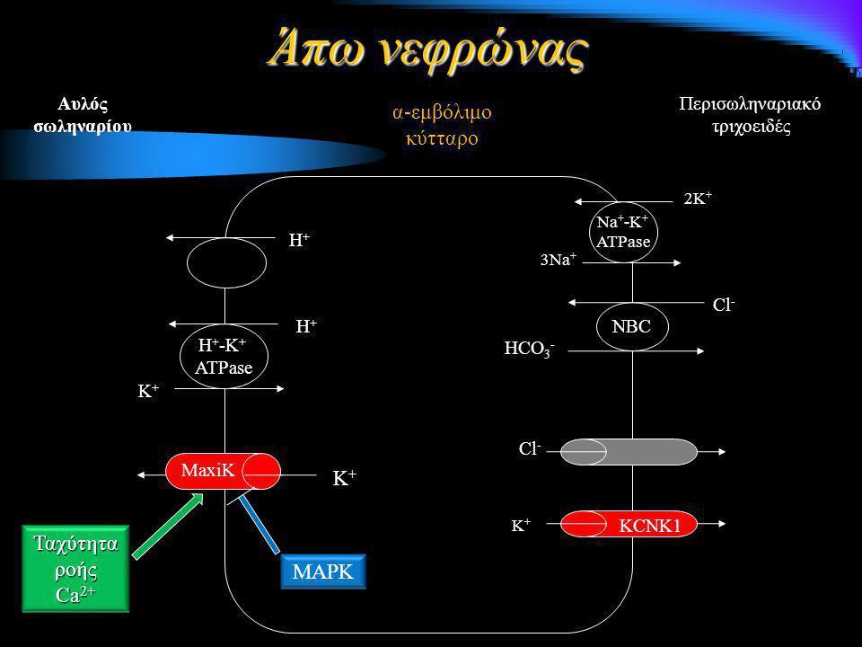 Περισωληναριακό τριχοειδές α-εμβόλιμο κύτταρο Αυλός σωληναρίου 3Na + 2K + Na + -K + ATPase NBC HCO 3 - K+K+K+K+ KCNK1 Cl - K+K+K+K+ MaxiK Κ+Κ+Κ+Κ+ Η+Η