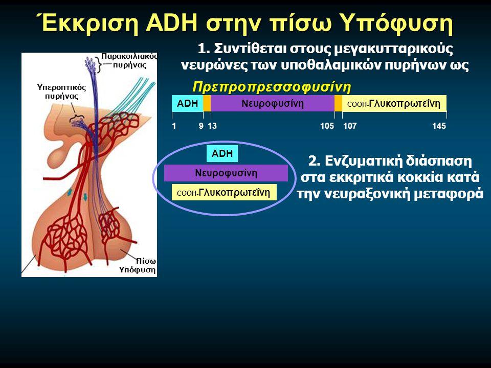 Έκκριση ADH στην πίσω Υπόφυση ADH COOH- ΓλυκοπρωτεΐνηΝευροφυσίνη 1913105107145 Πρεπροπρεσσοφυσίνη Υπεροπτικός πυρήνας Παρακοιλιακός πυρήνας Πίσω Υπόφυση ADH COOH- Γλυκοπρωτεΐνη Νευροφυσίνη 2.